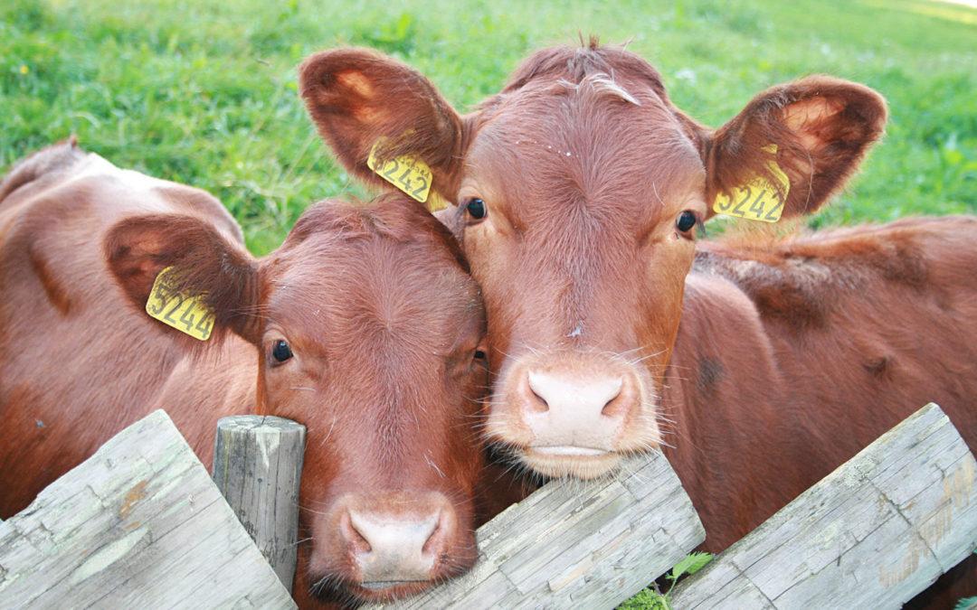 Bienestar Animal y su impacto en la producción de carne