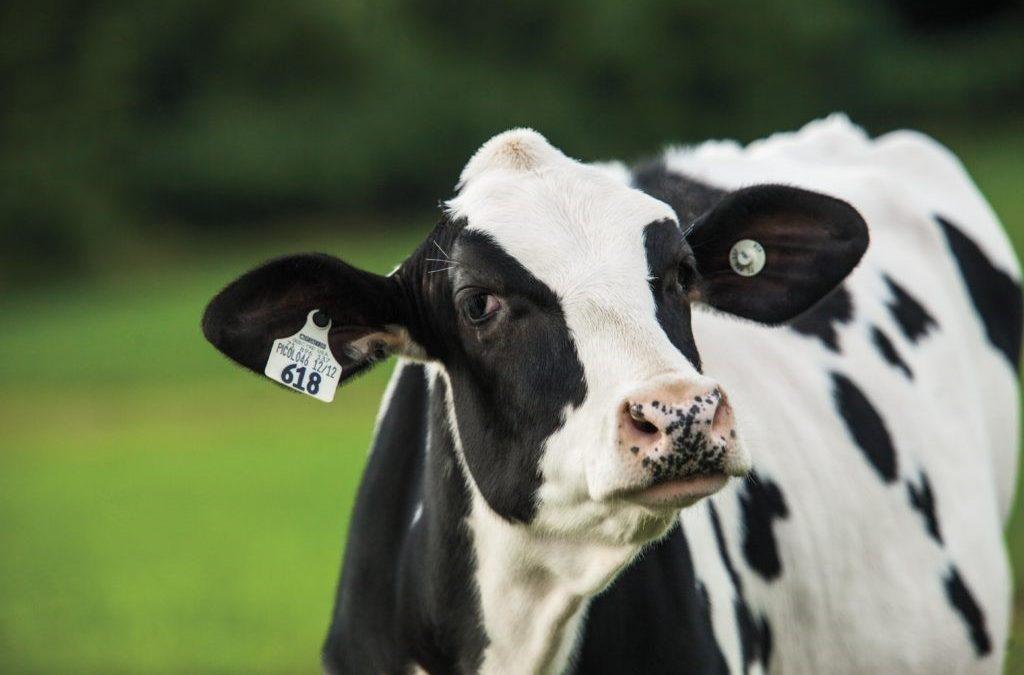 Uso de Sales Aniónicas en el preparto de la Vaca lechera