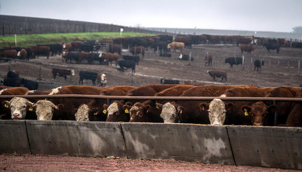 ¿Cuál es la patología tóxica más frecuente en bovinos y cómo evitarla?